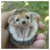 Small riccio